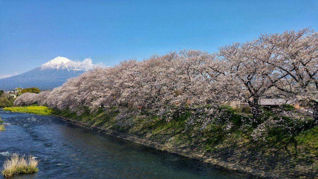Le mont Fuji et les sakura en fleur de la rivière Urui