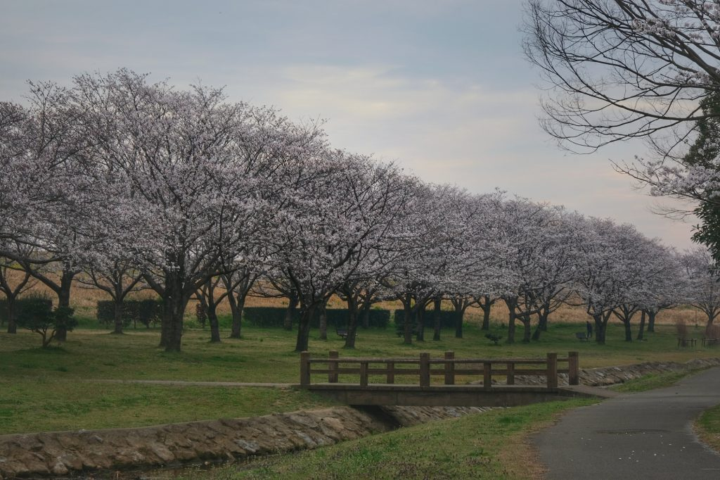 Les cerisiers du parc de Noda-shi, notre lieu de camping