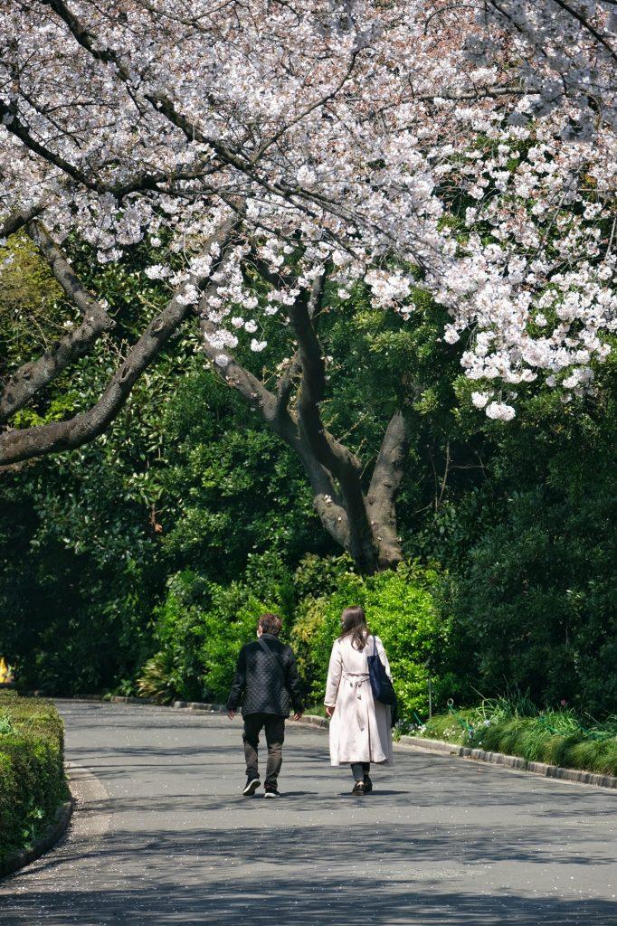 Un couple se promène sous les cerisiers en fleur du Shinjuku Gyoen