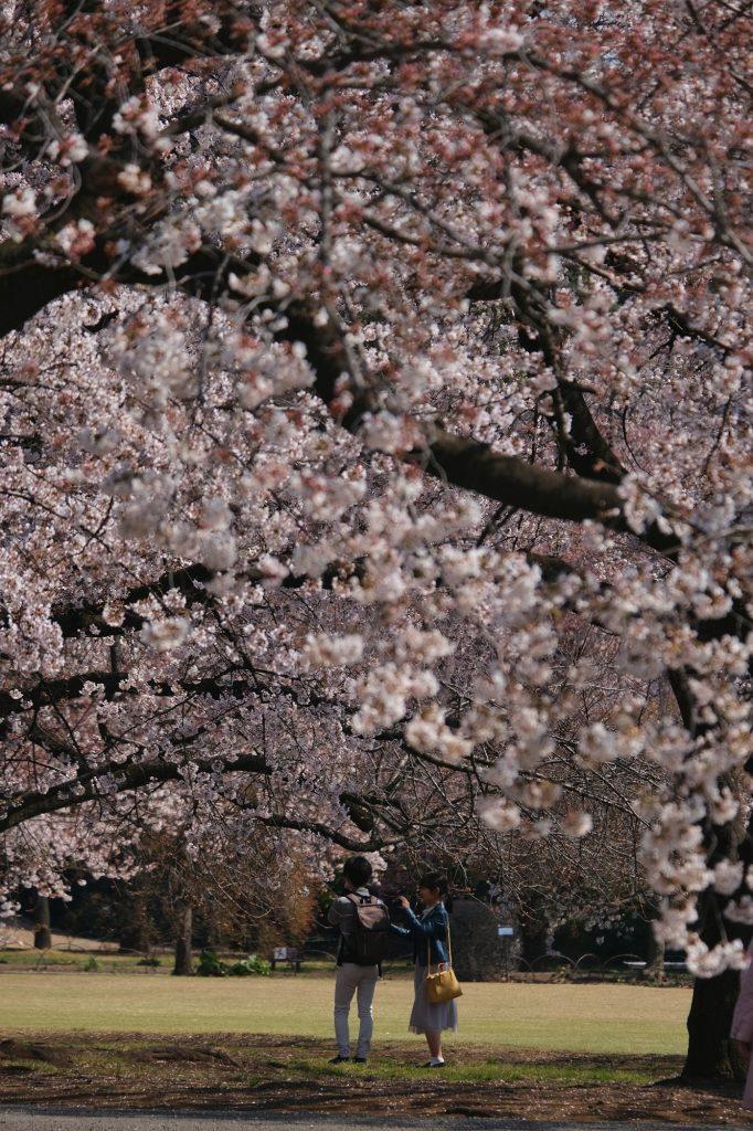 Un couple observe les fleurs des cerisiers du Shinjuku Gyoen
