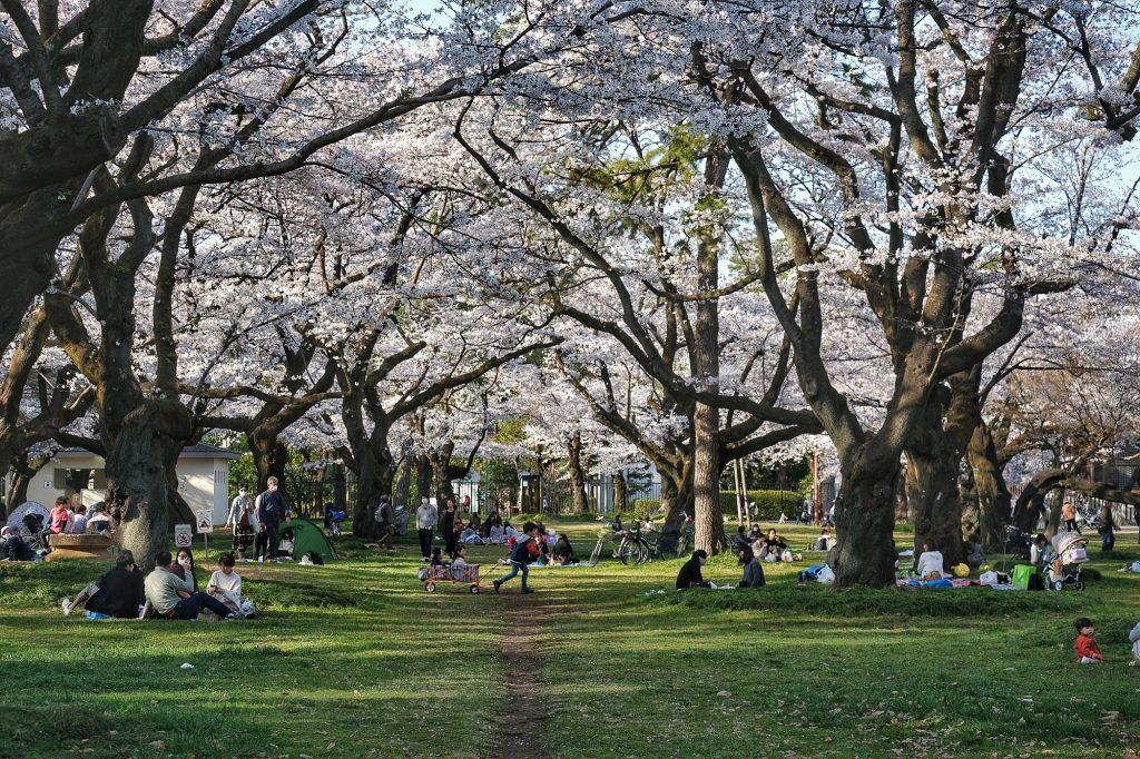 Les enfants et les familles sous les sakura en fleur du parc Koganei