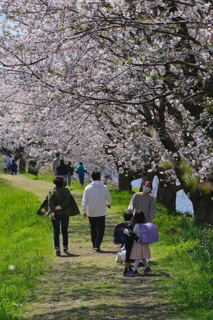 Hanami en famille le long de la rivière Urui à Fuji