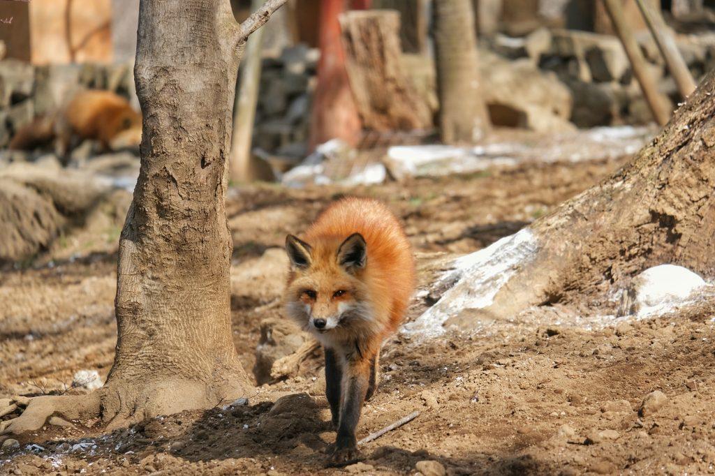Un renard en