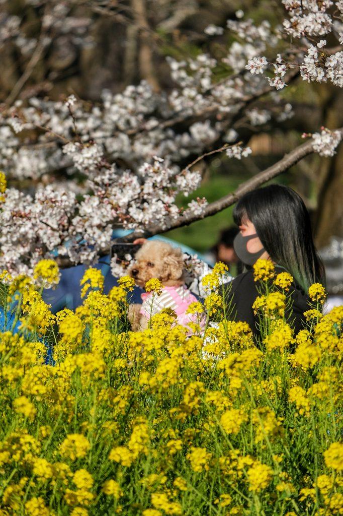 Fleurs jaunes au parc Koganei