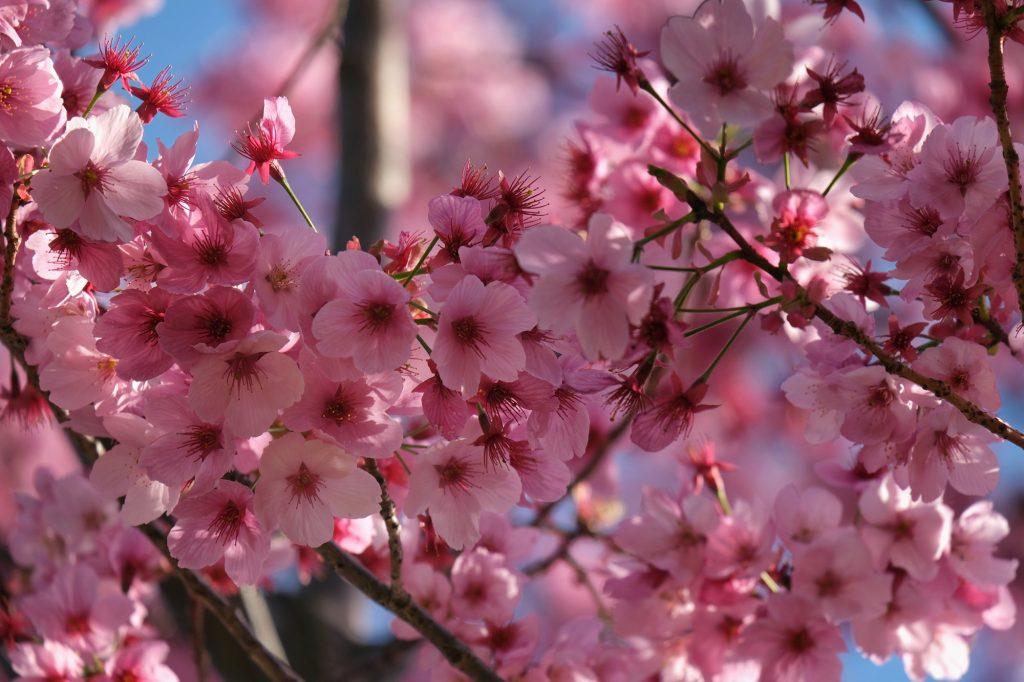 Des fleurs de sakura roses magnifiques au parc Koganei