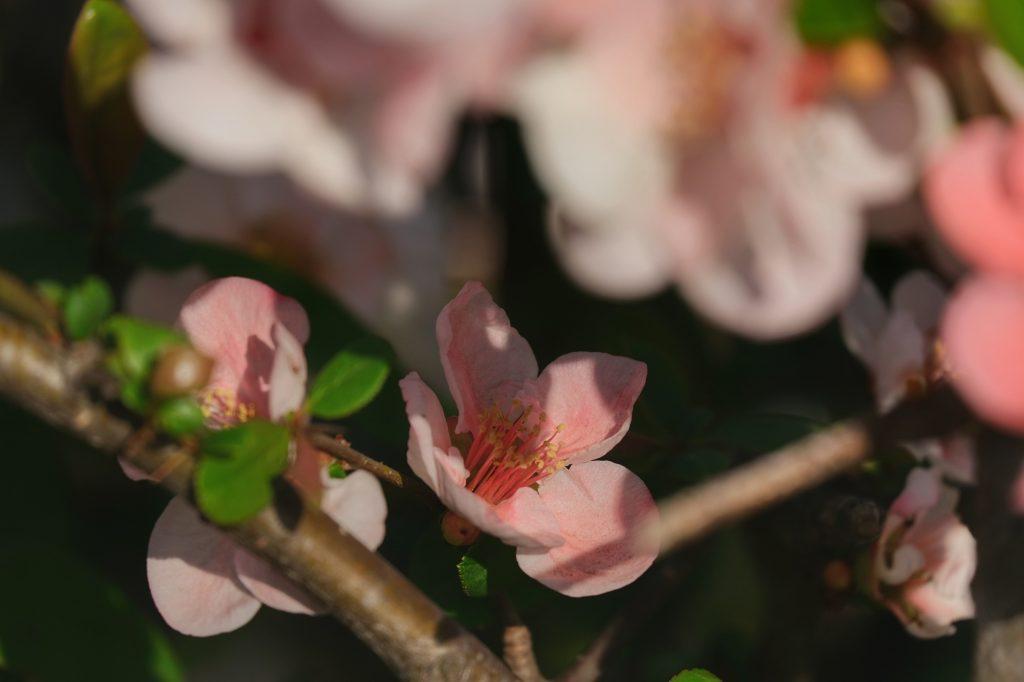 Une fleur de sakura au parc Koganei