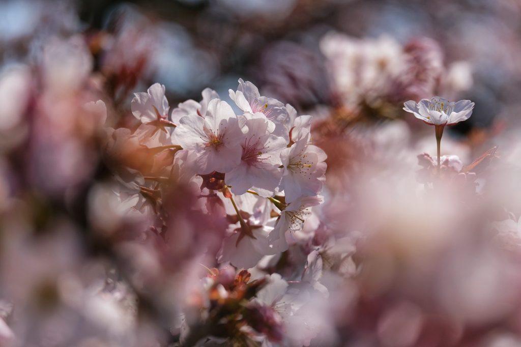 Les fleurs des cerisiers du Shinjuku Gyoen