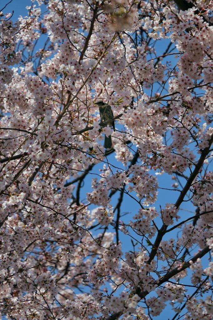 Fleurs blanches d'un cerisier du parc de Shinjuku