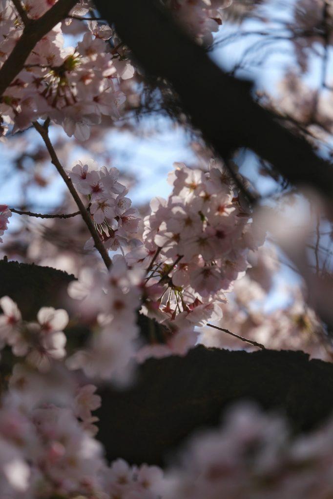 Les fleurs des sakura au Shinjuku Gyoen