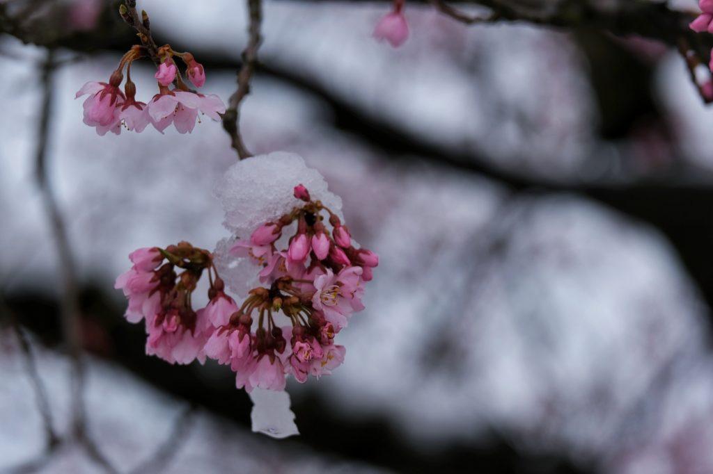 Les fleurs de cerisier sous la neige