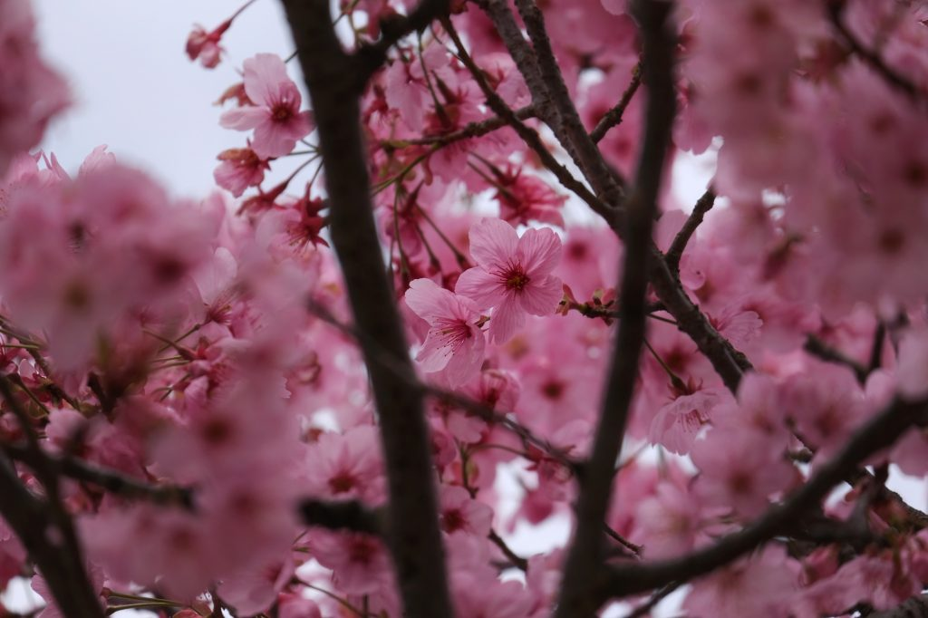 Les sakura roses du parc Mémorial Showa