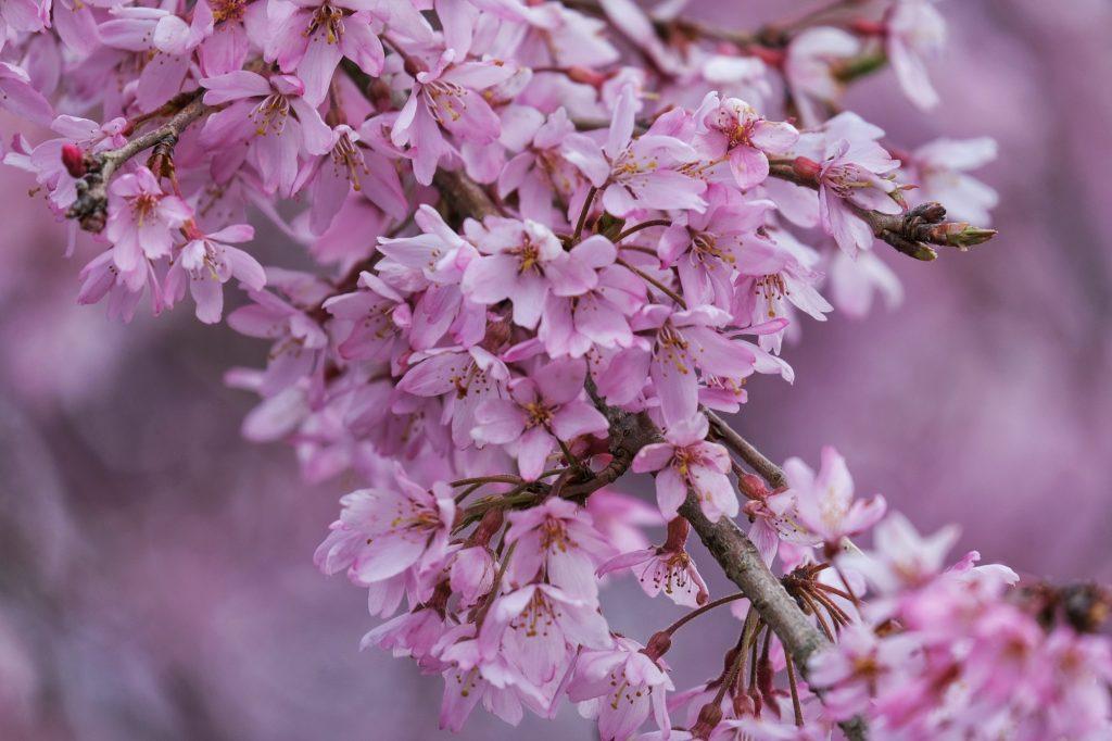 Des fleurs de sakura à Miyagino