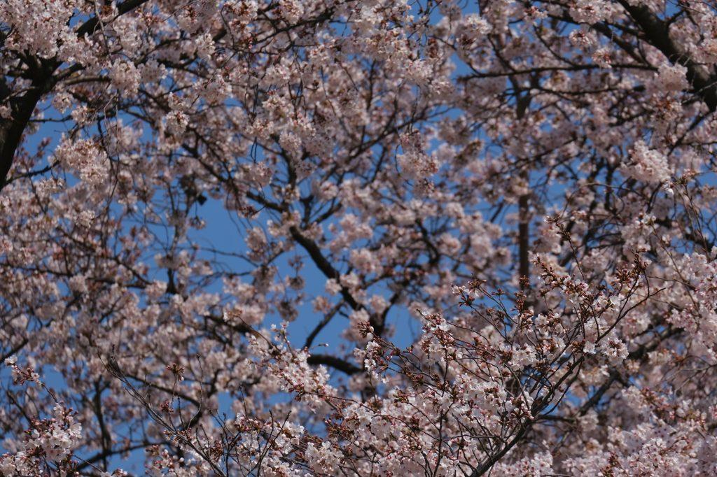 Les cerisiers en fleurs du parc de Shinjuku