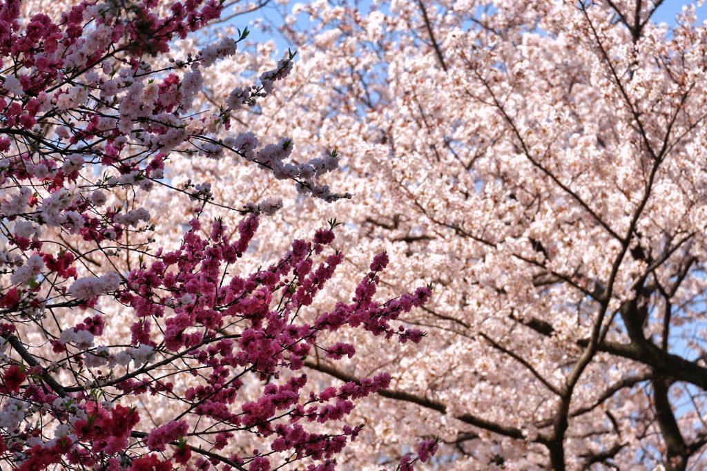 Les fleurs roses et blanches des sakura du Shinjuku Gyoen