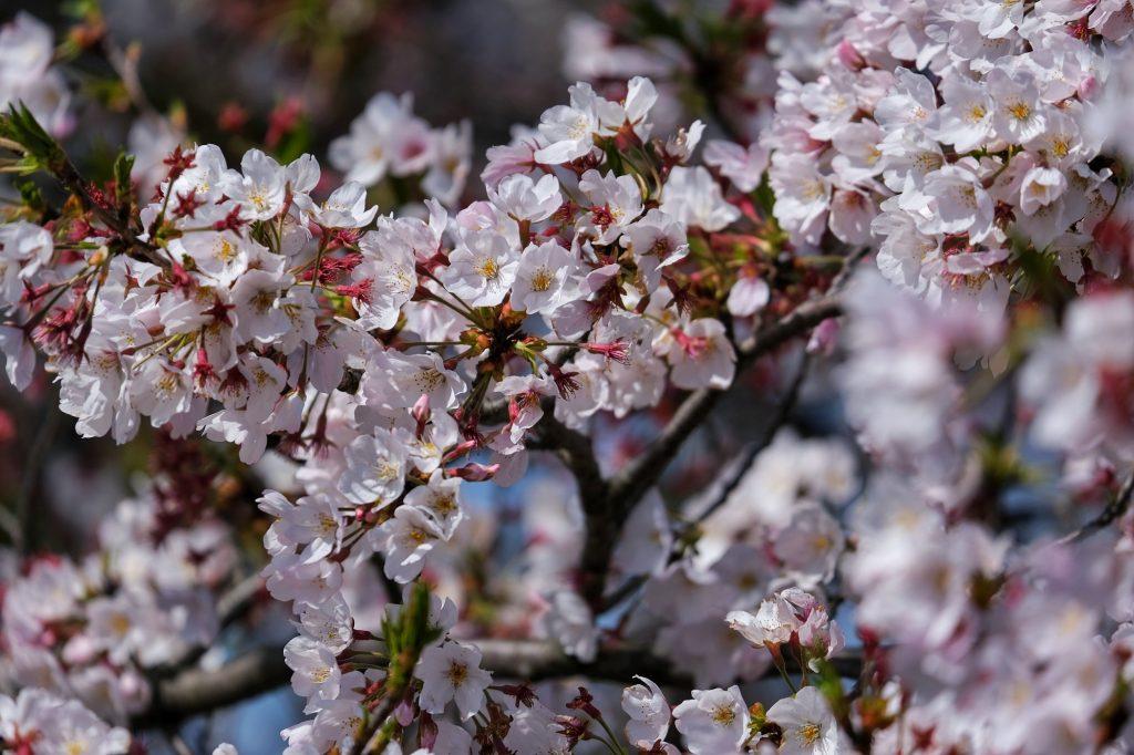 Des fleurs de sakura au parc Inagikita Ryokuchi