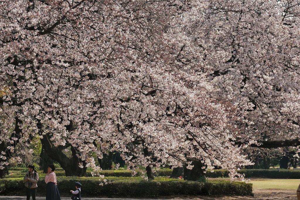De grands cerisiers en fleur au parc de Shinjuku