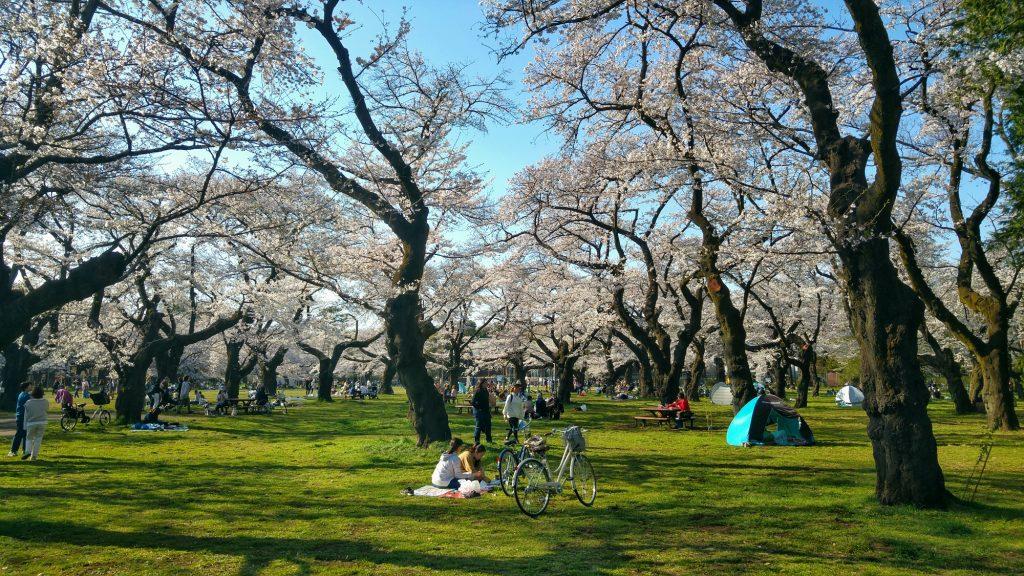Hanami au parc Koganei