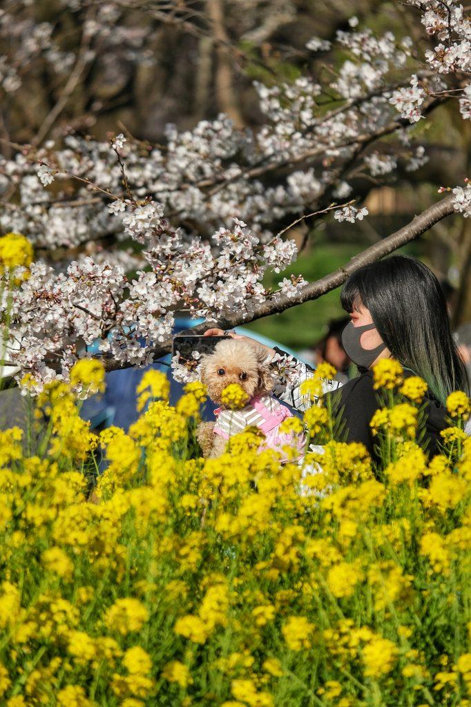 Selfie avec son chien devant les fleurs jaunes du parc Koganei