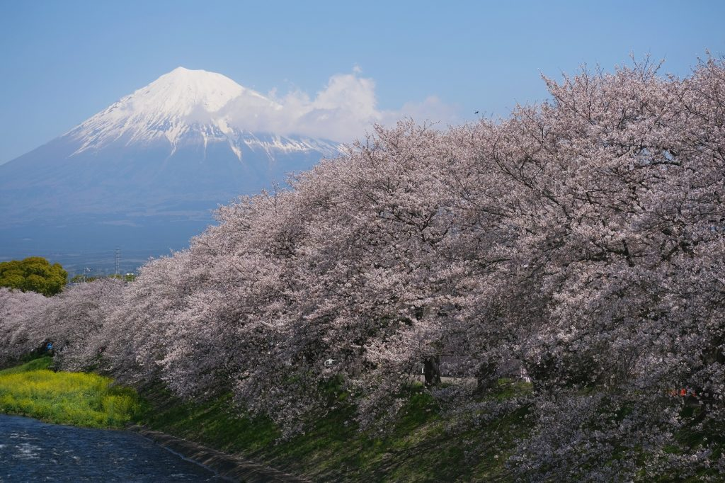 Les cerisiers en fleur de la rivière Urui devant le mont Fuji