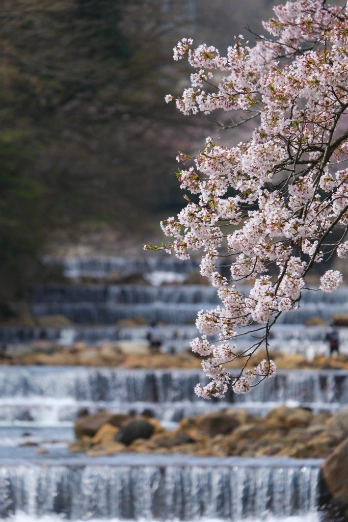 Les fleurs de cerisiers à Miyagino