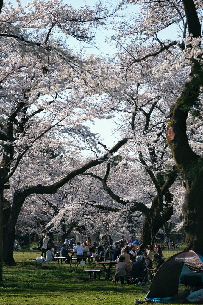 Les Japonais profitent de l'ombre des cerisiers en fleur du parc Koganei