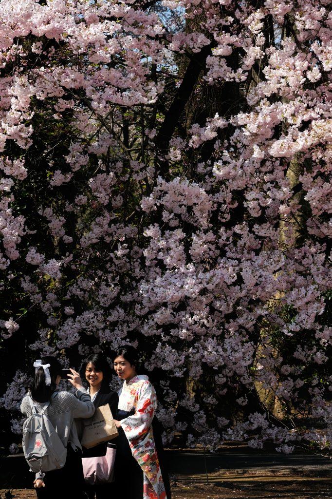 Séance photo en kimono sous les cerisiers en fleur du Shinjuku Gyoen