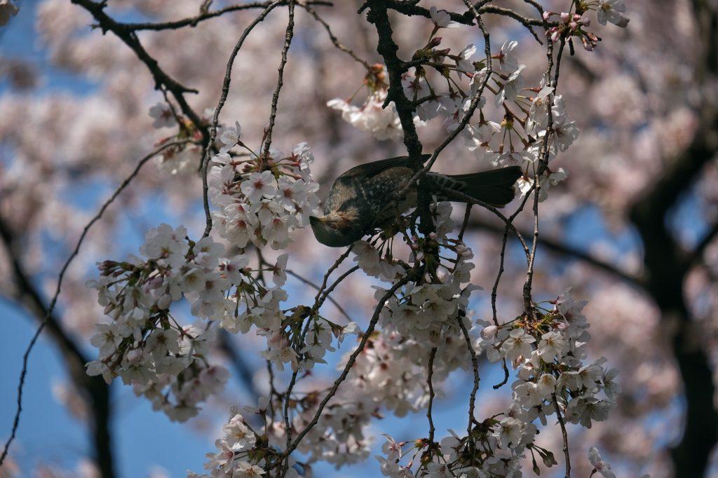 Un oiseau dans un cerisier du parc de Shinjuku