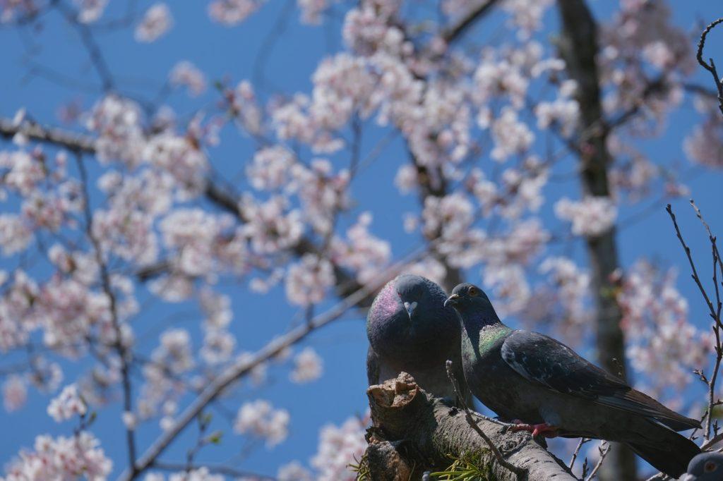 Des pigeons dans les cerisiers en fleur à Fujinomiya