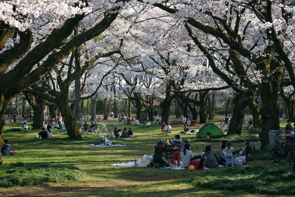 Enfin un aperçu de Hanami au parc Koganei