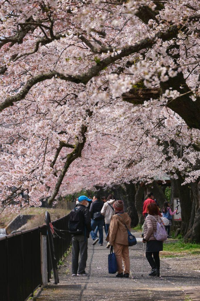 Des promeneurs sous les sakura en fleur à Miyagino
