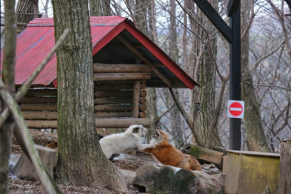 Des renards se battent dans l'enceinte du zoo