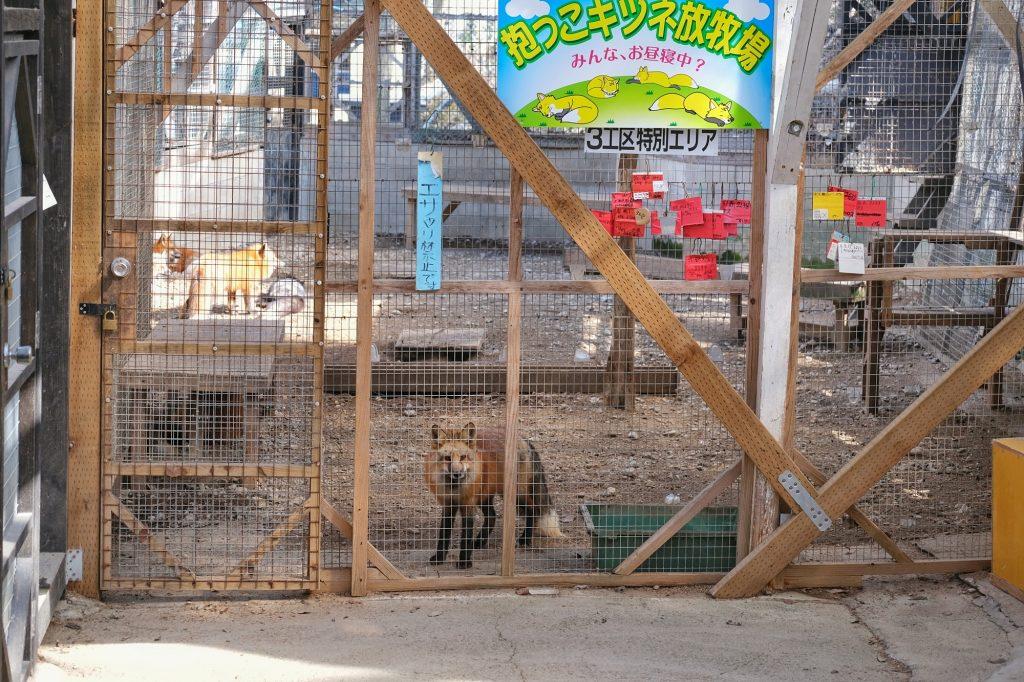 Des renards enfermés dans les cages du Zao Fox Village