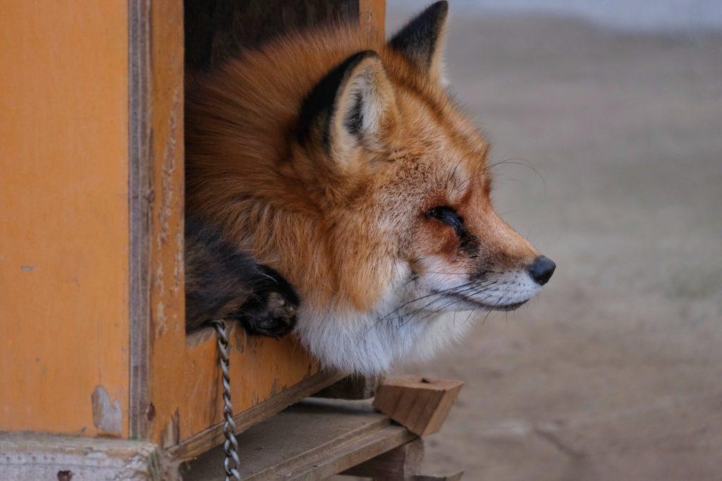 Un renard enchaîné pour les caresses