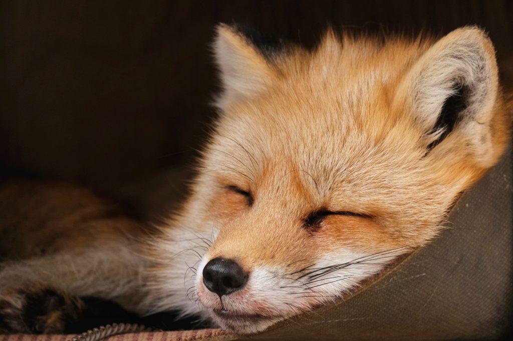 Un renard enfermé au Zao Fox Village