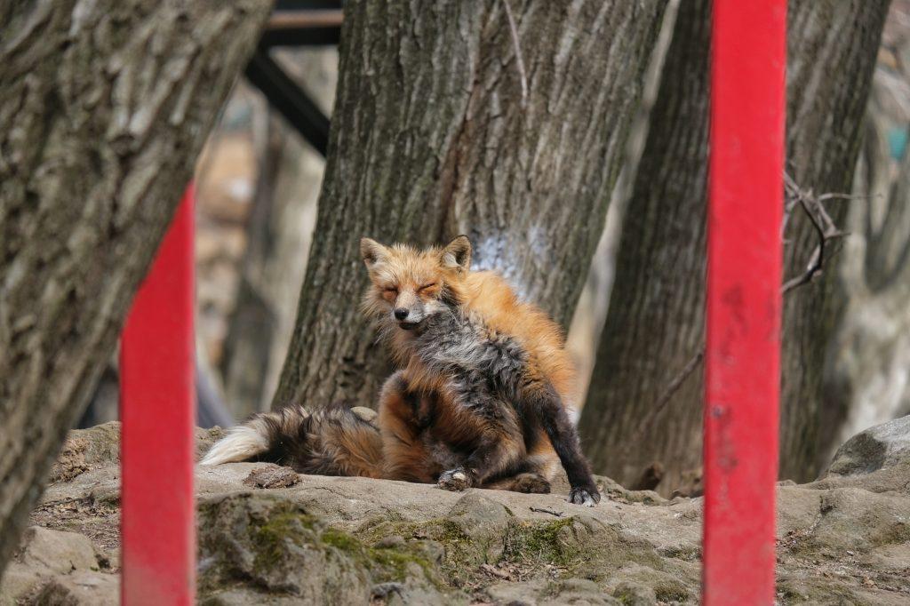 Un renard pas très en forme dans le Zao Fox Village