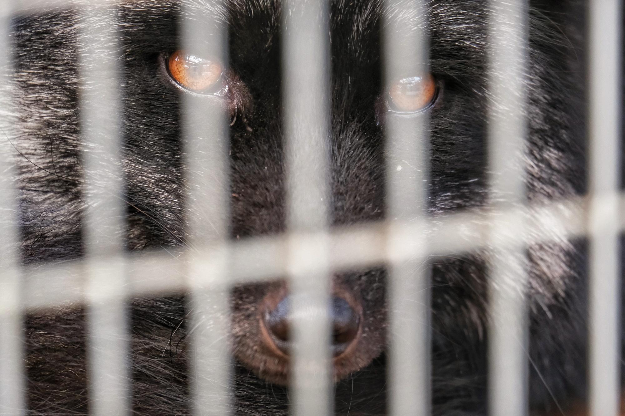 Un renard noir dans sa prison