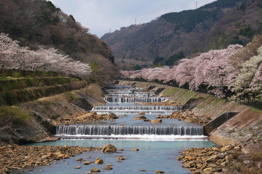 Le rivière Haya et ses cerisiers en fleur