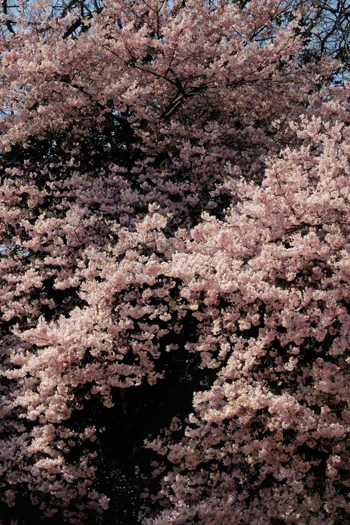 Cerisier en fleur au Shinjuku Gyoen