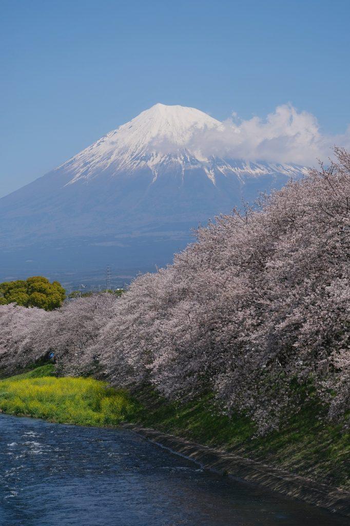 Le mont Fuji et les cerisiers en fleur de la rivière Urui à Fuji
