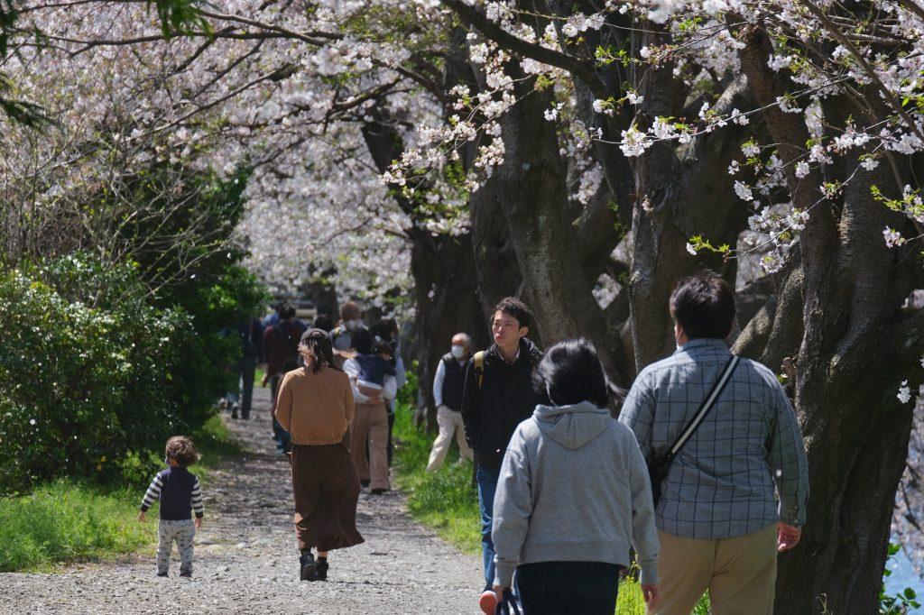 Les visiteurs profitent des cerisiers en fleur le long de la rivière Urui à Fuji