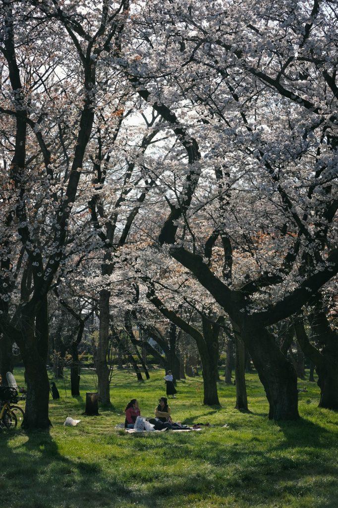 Deux personnes profitent des cerisiers en fleur au parc Koganei